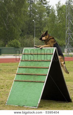 German Shepherd Jumping In A Training.