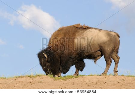 North American Bison or Buffalo feeding against a blue sky in Yellowstone National Park