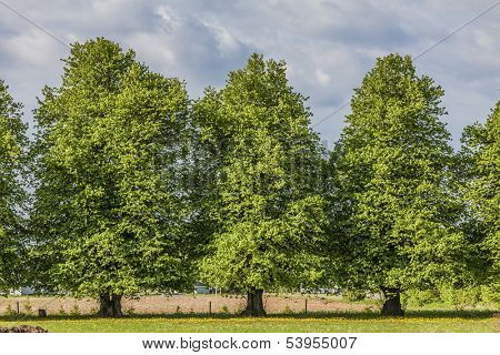 Beautiful old linden trees in the rural landscape.