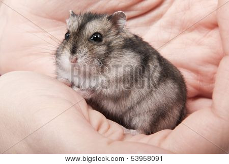 Little dwarf hamster on women hands