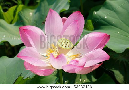 Lotus flower in the farm at daytime in Taiwan, Asia.