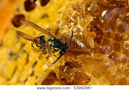 Wasp Eating Honey On Honeycomb