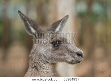 Close up of a grey kangaroo