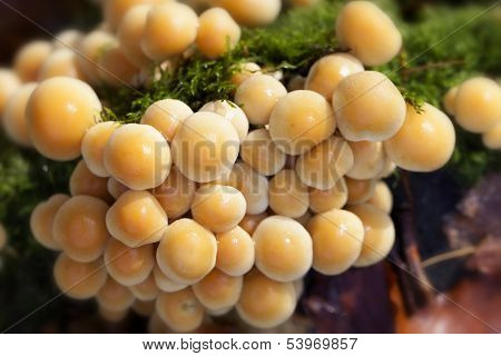 changeable pholiota - top view