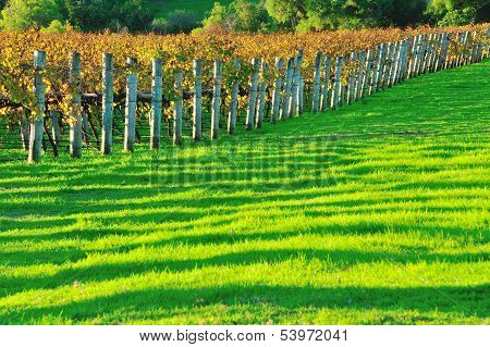 Vineyard In Early Autumn