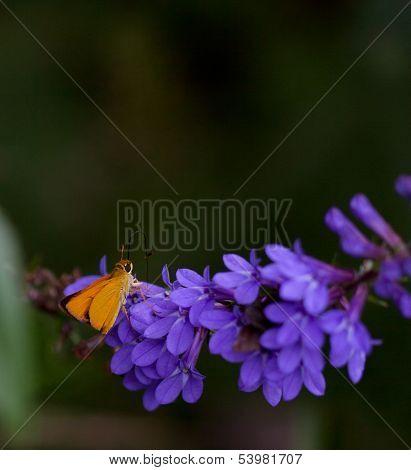 Delaware Skipper Butterfly