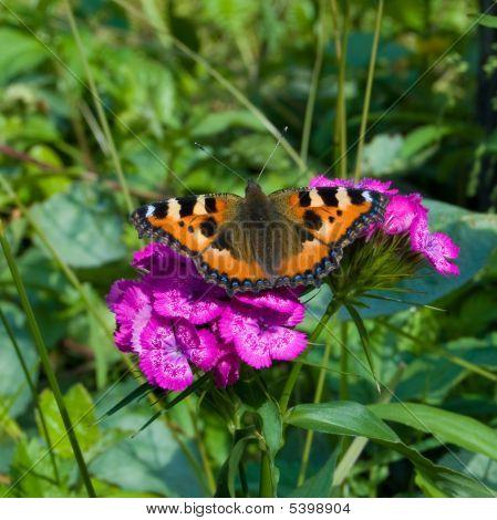 Small Tortoiseshel Butterfly