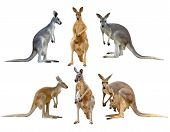 stock photo of kangaroo  - this is kangaroo isolated on white background - JPG