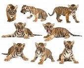 stock photo of tiger cub  - baby bengal tiger isolated on white background - JPG