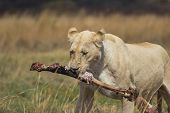 White Lioness Carrying a Bone