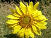stock photo of libido  - flower of wild sunflower grown in the city - JPG