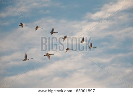White  Swans flying in a cloudy winter sky