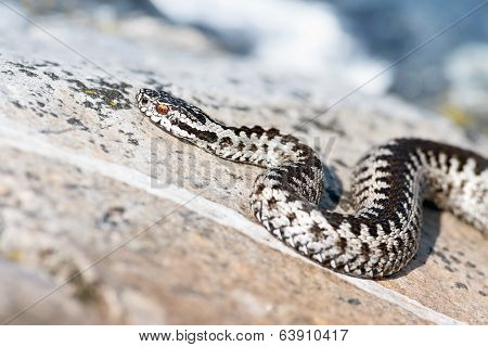 European Adder, Vipera Berus On Sea Shore Rocks
