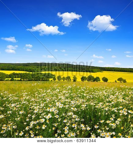 Spring landscape with field of marguerites