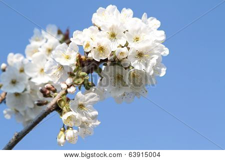 Spring flowers on branch on blue sky