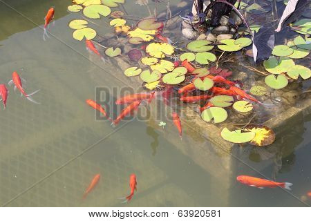 Pond-Goldfish
