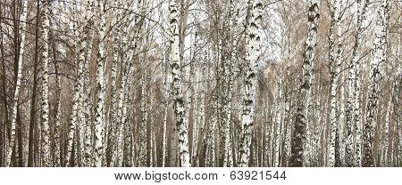 Close-up of a birch wood in summer