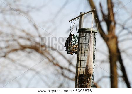 Hairy Woodpecker Feeding On Suet