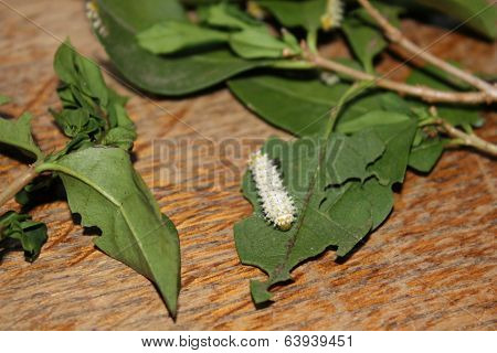 samia cynthia walkeri caterpillar