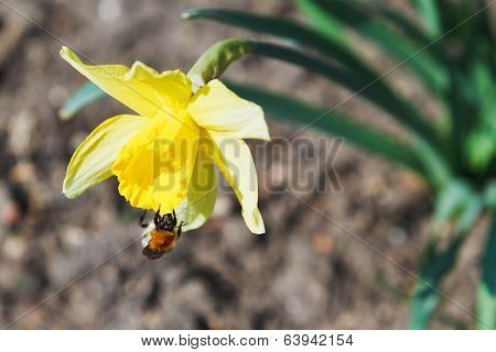 Bumble Bee Collects Nectar From Narcissus