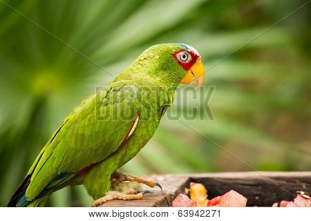 Portrait Of White-fronted Parrot