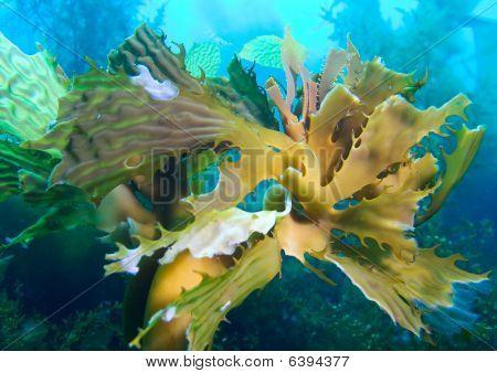 Elk Kelp