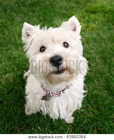 a cute westie - west highland terrier - at a local park or backyard