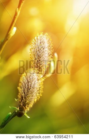 Spring Buds Of Willow Catkins