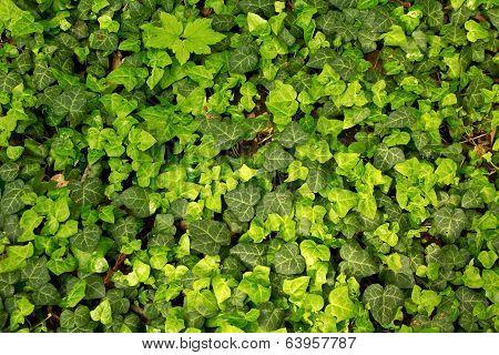 Ivy Pattern