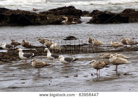 Seagulls Foraging Along The Coastal Sand Beach