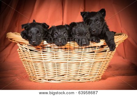 litter of scottish terriers in a basket on orange background