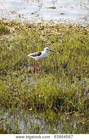 Stilt Bird In A National Park