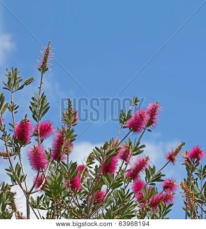 Purple Bottlebrush Plant On Blue Sky Background
