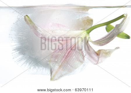 Frozen Lily