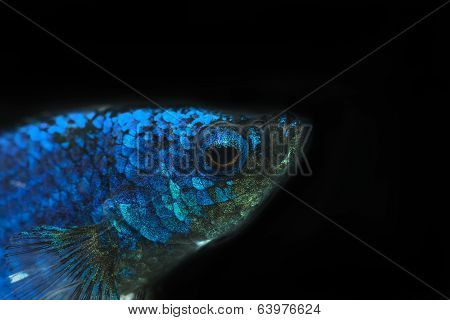 Siamese Fighting Fish , Betta Fish In Black