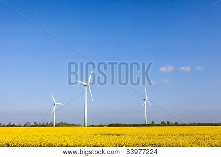 Rapeseed Whit Windmill