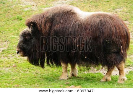 Northern Musk Ox