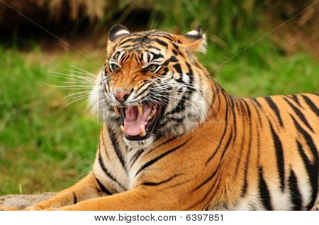 Roar Of A Tiger