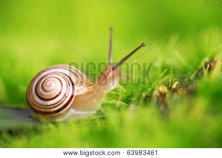 Creeper Snail After Rain On The Grass.