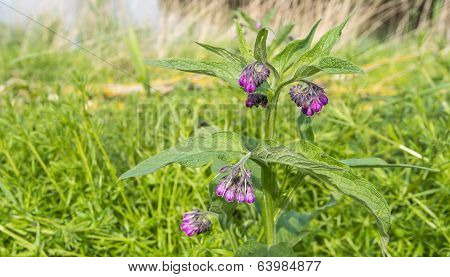Closeup Of A Purple Blooming Common Comfrey
