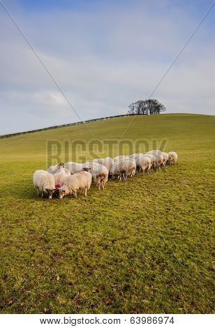 Folck of grazing sheep