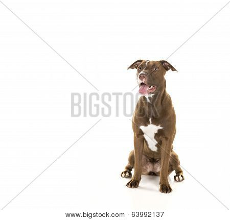 Seated Dog Isolated on White from In Front