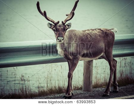 Reindeer Stag With Exceptionally Long Antlers