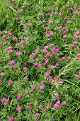 picture of red clover  - Bright summer field blooming fragrant red clover - JPG