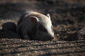 stock photo of wallow  - Bentheim pig lying in a deer park - JPG