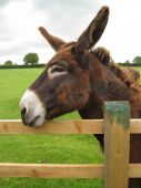 picture of jack-ass  - a brown donkey resting his head on a fence - JPG