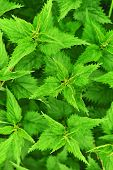 picture of sting  - Stinging nettle growing in the garden - JPG