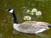image of boise  - A Canada Goose swims with her four small goslings in a Boise city park - JPG