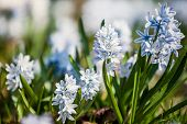 spring flowers scilla siberica (also known as siberian squill or wood squill) poster