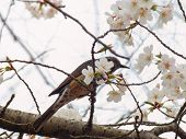 stock photo of bulbul  - Yoshino cherry tree blossoms and Brown - JPG